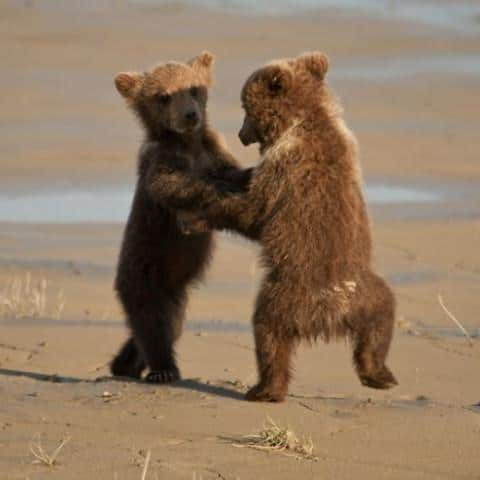 Bjørne der danser argentinsk tango